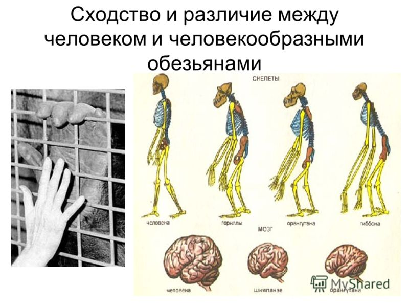 Сходство и различие между человеком и человекообразными обезьянами