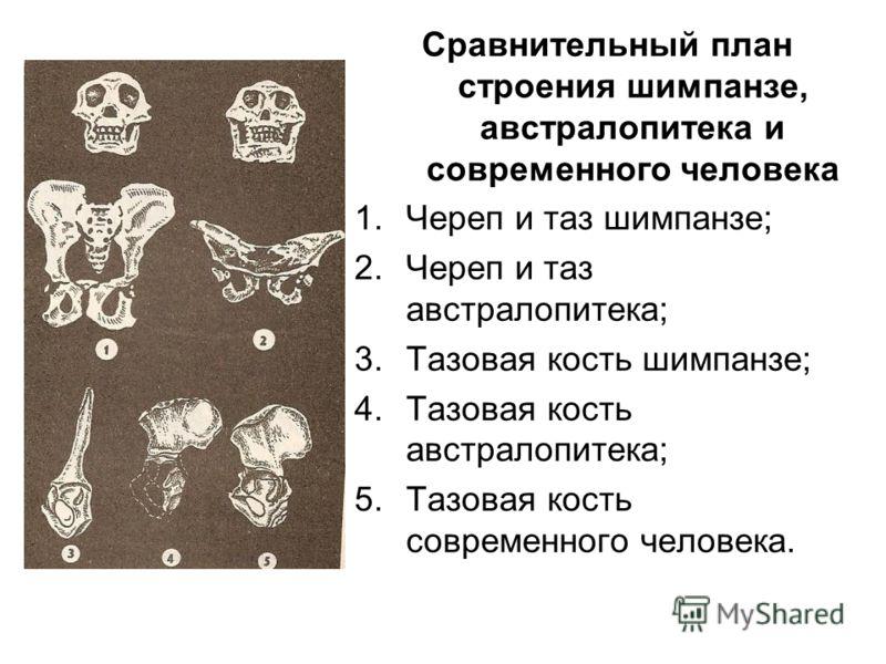 Сравнительный план строения шимпанзе, австралопитека и современного человека 1.Череп и таз шимпанзе; 2.Череп и таз австралопитека; 3.Тазовая кость шимпанзе; 4.Тазовая кость австралопитека; 5.Тазовая кость современного человека.