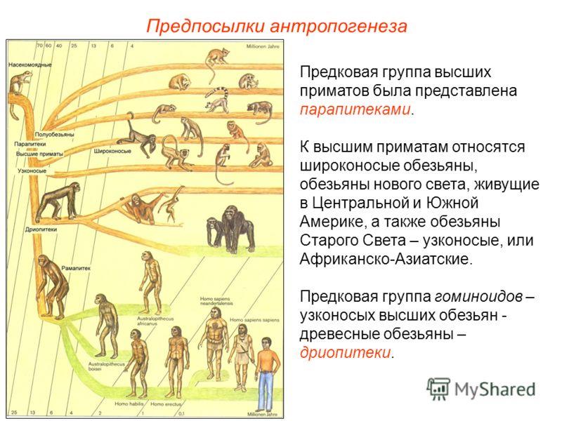 Предпосылки антропогенеза Предковая группа высших приматов была представлена парапитеками. К высшим приматам относятся широконосые обезьяны, обезьяны нового света, живущие в Центральной и Южной Америке, а также обезьяны Старого Света – узконосые, или