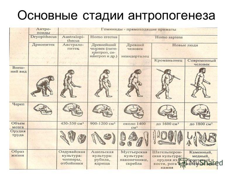 Основные стадии антропогенеза