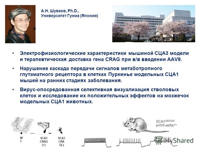 А.Н. Шуваев, Ph.D., Университет Гунма (Япония) Электрофизиологические характеристики мышиной СЦА3 модели и терапевтическая доставка гена CRAG при в/в введении ААV9. Нарушение каскада передачи сигналов метаботропного глутаматного рецептора в клетках П