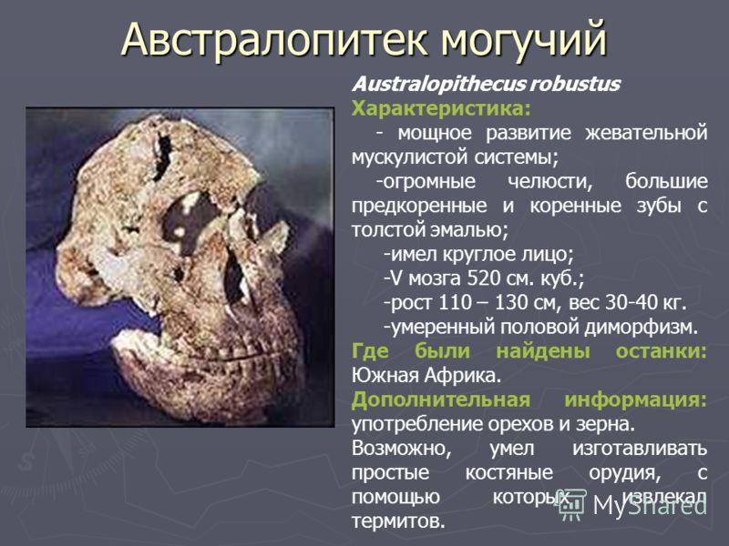 Австралопитек могучий Australopithecus robustus Характеристика: - мощное развитие жевательной мускулистой системы; -огромные челюсти, большие предкоренные и коренные зубы с толстой эмалью; -имел круглое лицо; -V мозга 520 см. куб.; -рост 110 – 130 см