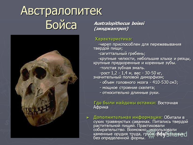 Австралопитек Бойса Australopithecus boisei Australopithecus boisei (зинджантроп) (зинджантроп) Характеристика: Характеристика: -череп приспособлен для пережевывания твердой пищи; -череп приспособлен для пережевывания твердой пищи; -сагиттальный греб