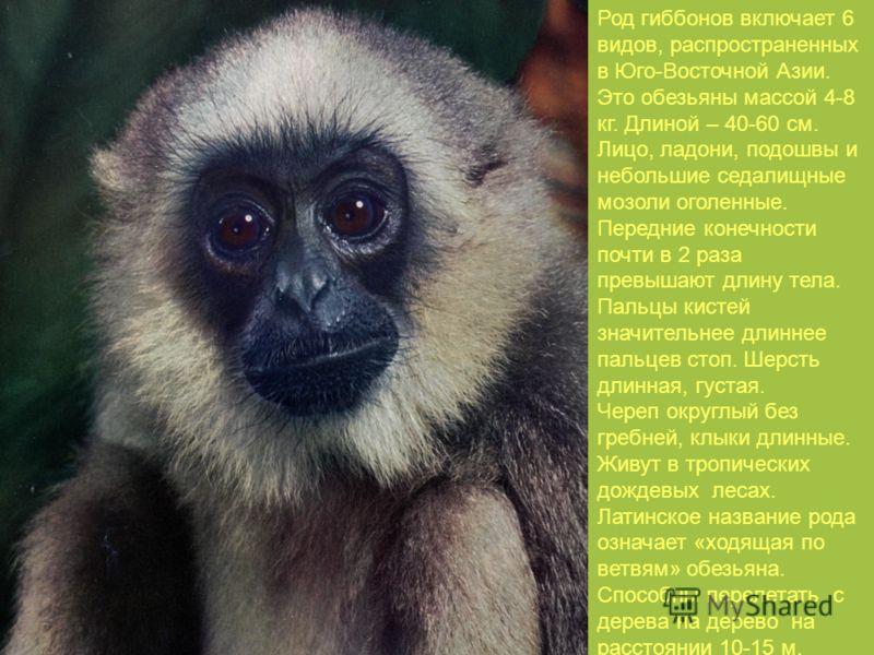Род гиббонов включает 6 видов, распространенных в Юго-Восточной Азии. Это обезьяны массой 4-8 кг. Длиной – 40-60 см. Лицо, ладони, подошвы и небольшие седалищные мозоли оголенные. Передние конечности почти в 2 раза превышают длину тела. Пальцы кистей