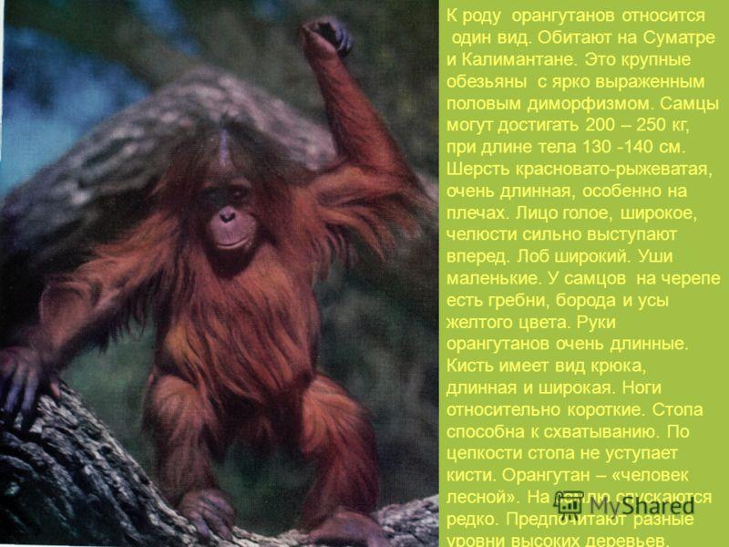 К роду орангутанов относится один вид. Обитают на Суматре и Калимантане. Это крупные обезьяны с ярко выраженным половым диморфизмом. Самцы могут достигать 200 – 250 кг, при длине тела 130 -140 см. Шерсть красновато-рыжеватая, очень длинная, особенно