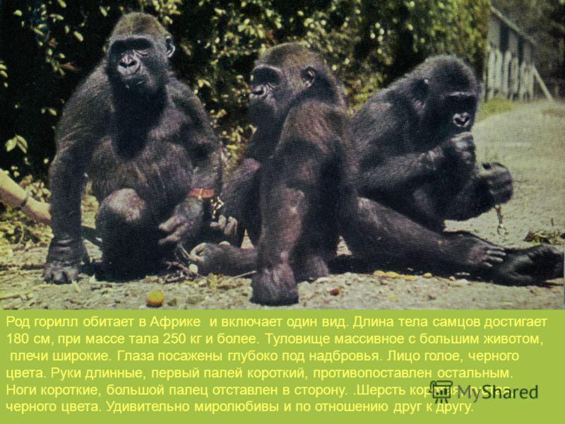 Род горилл обитает в Африке и включает один вид. Длина тела самцов достигает 180 см, при массе тала 250 кг и более. Туловище массивное с большим животом, плечи широкие. Глаза посажены глубоко под надбровья. Лицо голое, черного цвета. Руки длинные, пе