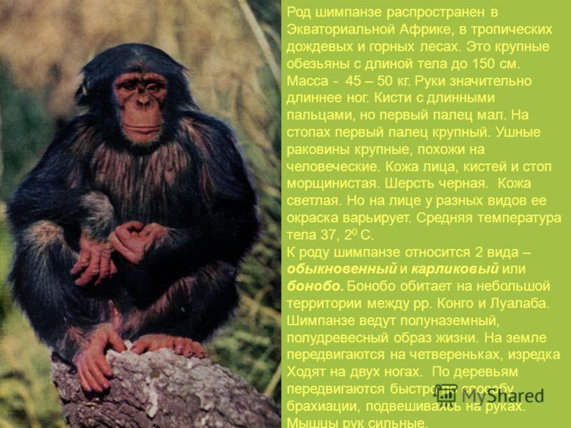 Род шимпанзе распространен в Экваториальной Африке, в тропических дождевых и горных лесах. Это крупные обезьяны с длиной тела до 150 см. Масса - 45 – 50 кг. Руки значительно длиннее ног. Кисти с длинными пальцами, но первый палец мал. На стопах первы