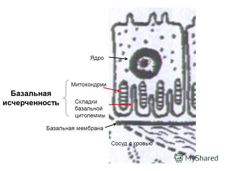 Митохондрии Складки базальной цитолеммы Сосуд с кровью Ядро Базальная исчерченность Базальная мембрана