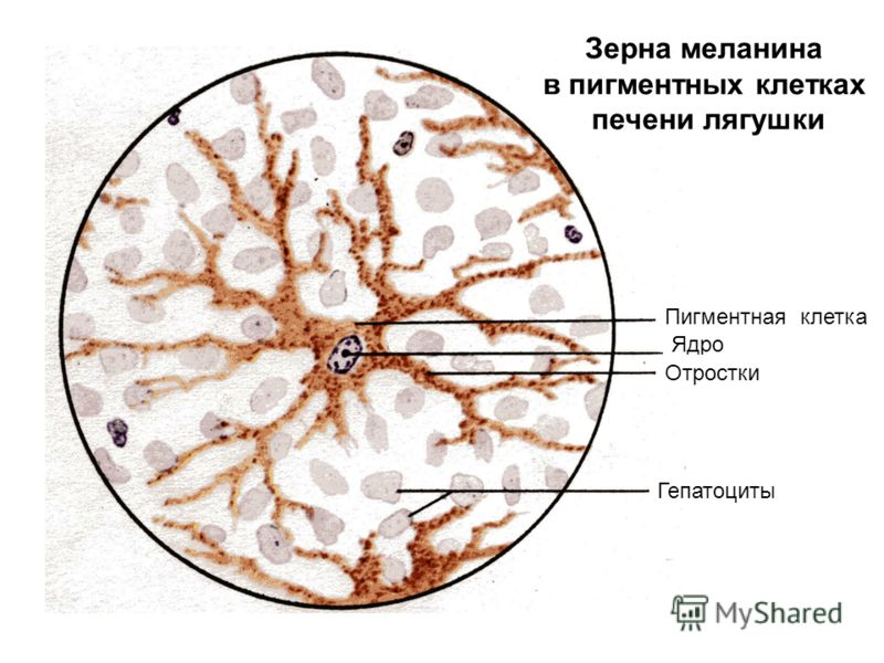 Пигментная клетка Ядро Отростки Гепатоциты Зерна меланина в пигментных клетках печени лягушки