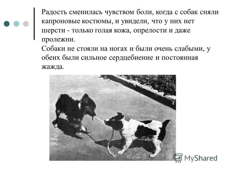Радость сменилась чувством боли, когда с собак сняли капроновые костюмы, и увидели, что у них нет шерсти - только голая кожа, опрелости и даже пролежни. Собаки не стояли на ногах и были очень слабыми, у обеих были сильное сердцебиение и постоянная жа