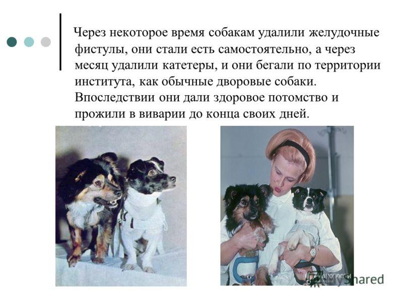 Через некоторое время собакам удалили желудочные фистулы, они стали есть самостоятельно, а через месяц удалили катетеры, и они бегали по территории института, как обычные дворовые собаки. Впоследствии они дали здоровое потомство и прожили в виварии д