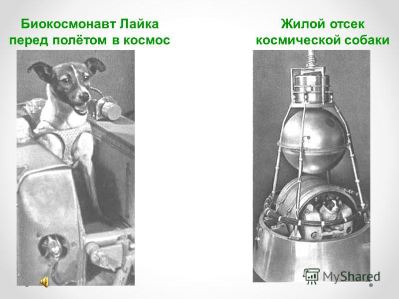 Биокосмонавт Лайка перед полётом в космос Жилой отсек космической собаки