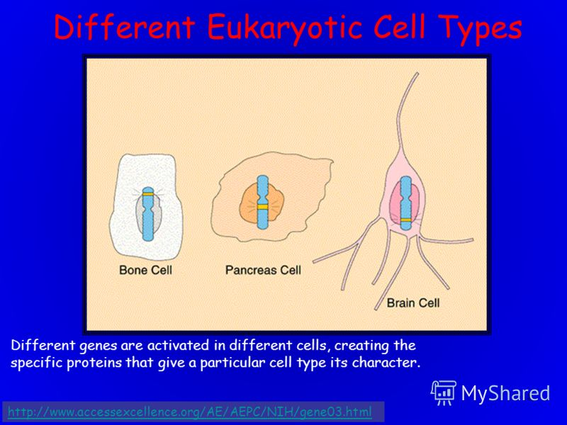 18 Different genes are activated in different cells, creating the specific proteins that give a particular cell type its character. Different Eukaryotic Cell Types http://www.accessexcellence.org/AE/AEPC/NIH/gene03.html