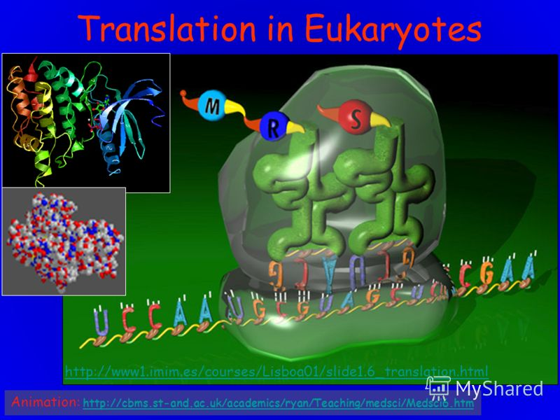 Translation in Eukaryotes http://www1.imim.es/courses/Lisboa01/slide1.6_translation.html Animation: http://cbms.st-and.ac.uk/academics/ryan/Teaching/medsci/Medsci6.htm http://cbms.st-and.ac.uk/academics/ryan/Teaching/medsci/Medsci6.htm