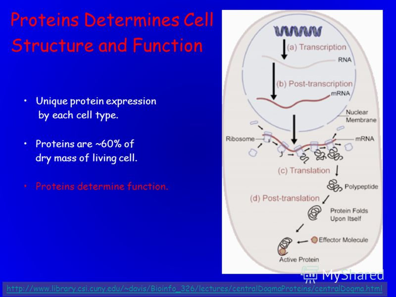 Proteins Determines Cell Structure and Function Unique protein expression by each cell type. Proteins are ~60% of dry mass of living cell. Proteins determine function. http://www.library.csi.cuny.edu/~davis/Bioinfo_326/lectures/centralDogmaProteins/c