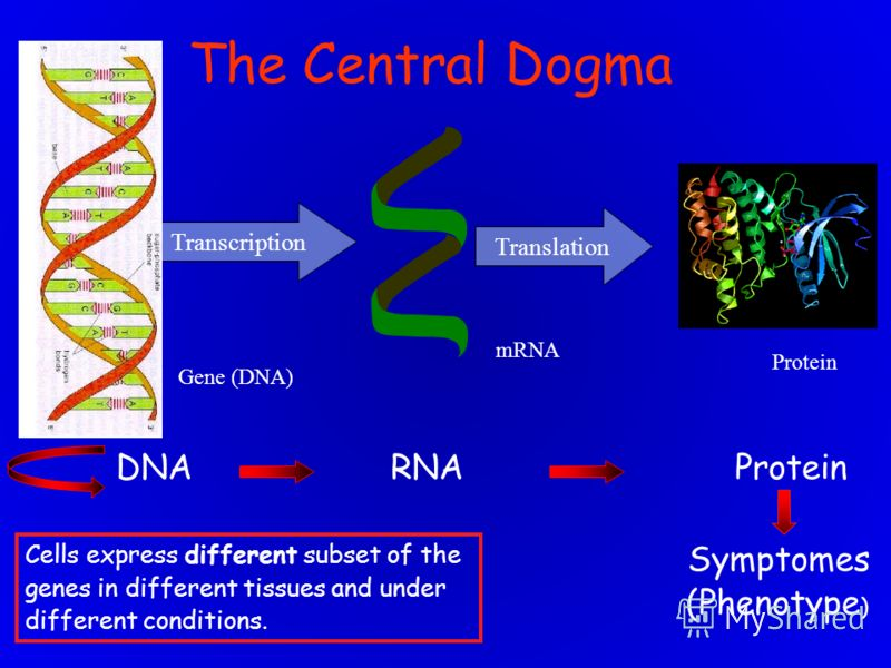 Transcription mRNA Cells express different subset of the genes in different tissues and under different conditions. Gene (DNA) Translation Protein DNA RNA Protein Symptomes (Phenotype ) The Central Dogma