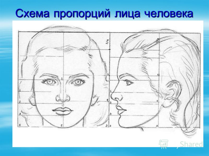 Схема пропорций лица человека