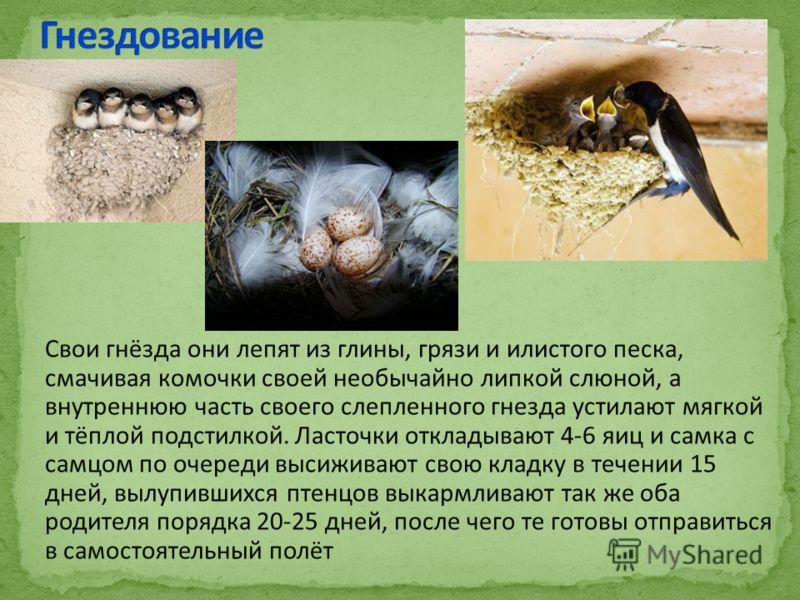 Свои гнёзда они лепят из глины, грязи и илистого песка, смачивая комочки своей необычайно липкой слюной, а внутреннюю часть своего слепленного гнезда устилают мягкой и тёплой подстилкой. Ласточки откладывают 4-6 яиц и самка с самцом по очереди высижи