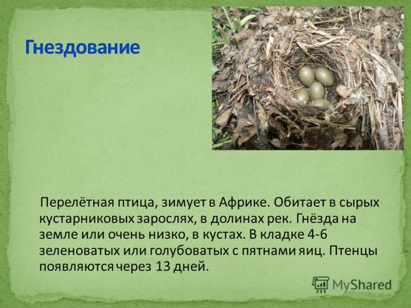 Перелётная птица, зимует в Африке. Обитает в сырых кустарниковых зарослях, в долинах рек. Гнёзда на земле или очень низко, в кустах. В кладке 4-6 зеленоватых или голубоватых с пятнами яиц. Птенцы появляются через 13 дней.