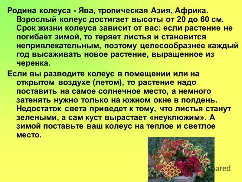 Родина колеуса - Ява, тропическая Азия, Африка. Взрослый колеус достигает высоты от 20 до 60 см. Срок жизни колеуса зависит от вас: если растение не погибает зимой, то теряет листья и становится непривлекательным, поэтому целесообразнее каждый год вы