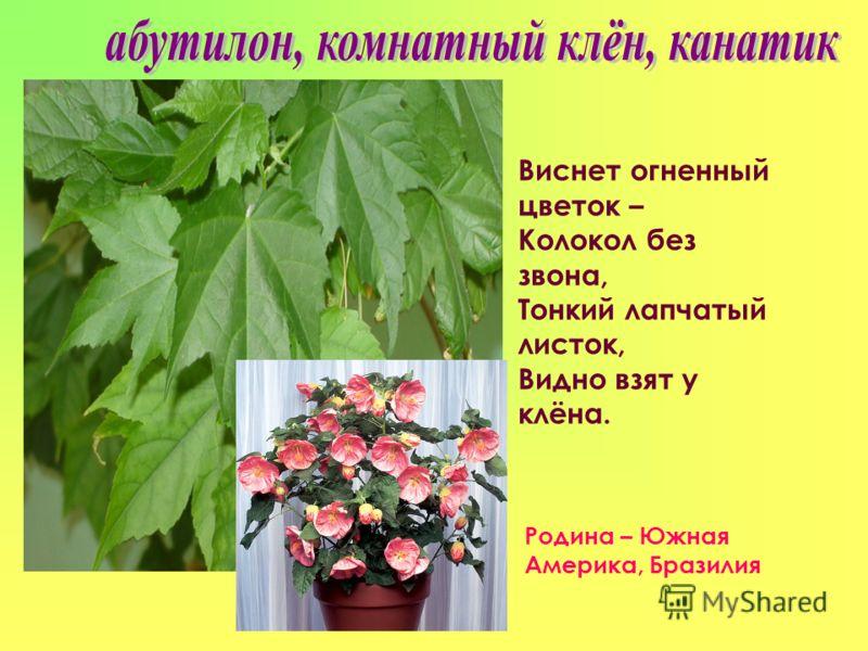 Виснет огненный цветок – Колокол без звона, Тонкий лапчатый листок, Видно взят у клёна. Родина – Южная Америка, Бразилия