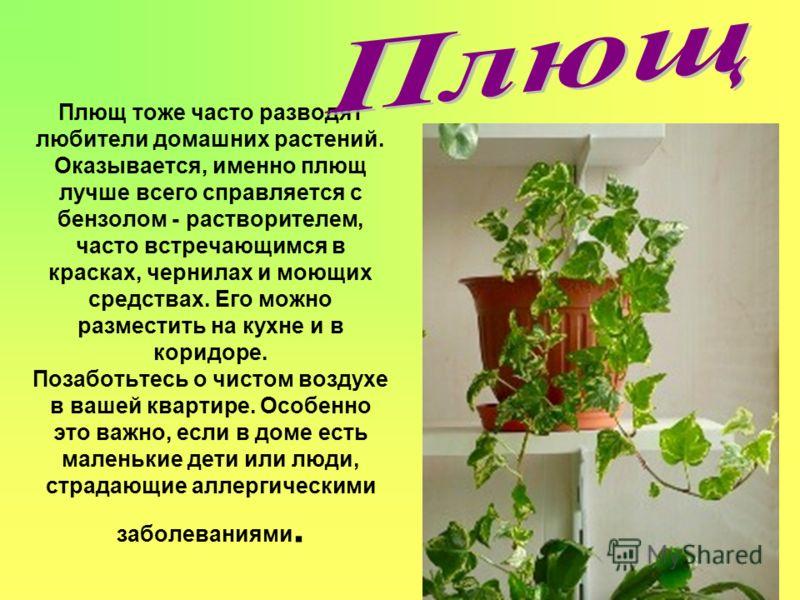 Плющ тоже часто разводят любители домашних растений. Оказывается, именно плющ лучше всего справляется с бензолом - растворителем, часто встречающимся в красках, чернилах и моющих средствах. Его можно разместить на кухне и в коридоре. Позаботьтесь о ч