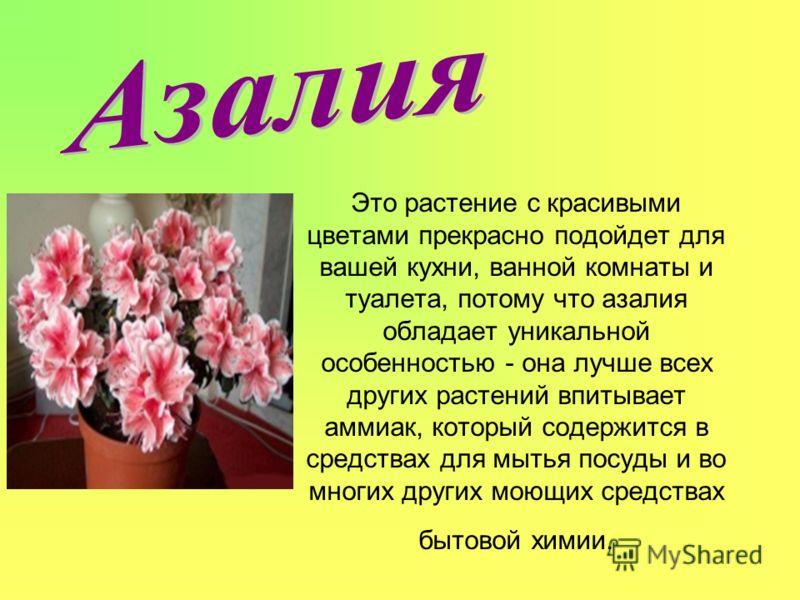 Это растение с красивыми цветами прекрасно подойдет для вашей кухни, ванной комнаты и туалета, потому что азалия обладает уникальной особенностью - она лучше всех других растений впитывает аммиак, который содержится в средствах для мытья посуды и во