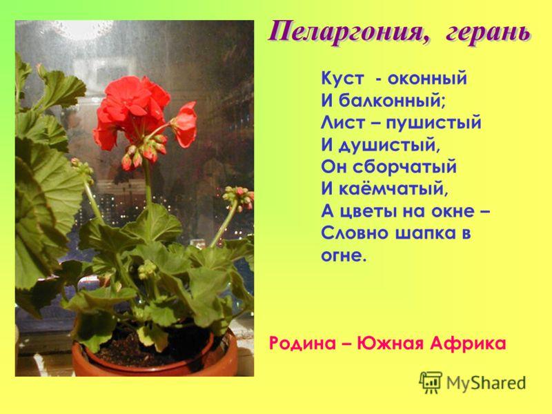 Куст - оконный И балконный; Лист – пушистый И душистый, Он сборчатый И каёмчатый, А цветы на окне – Словно шапка в огне. Родина – Южная Африка