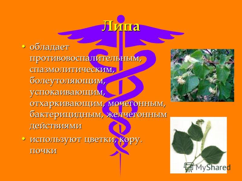 Липа обладает противовоспалительным, спазмолитическим, болеутоляющим, успокаивающим, отхаркивающим, мочегонным, бактерицидным, желчегонным действиямиобладает противовоспалительным, спазмолитическим, болеутоляющим, успокаивающим, отхаркивающим, мочего