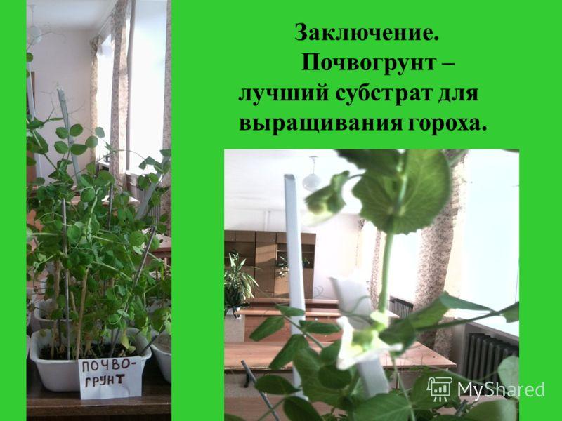 Заключение. Почвогрунт – лучший субстрат для выращивания гороха.