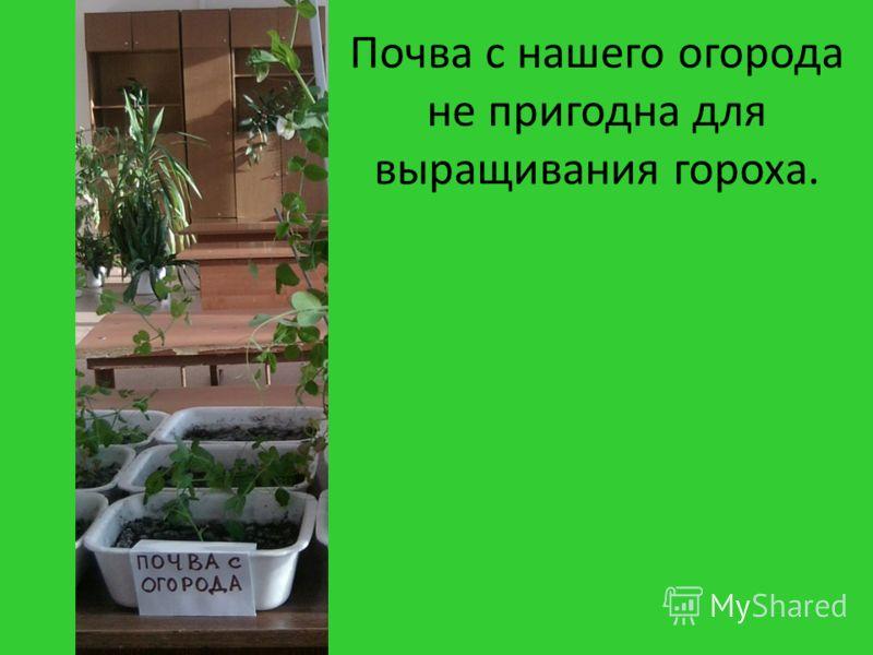 Почва с нашего огорода не пригодна для выращивания гороха.