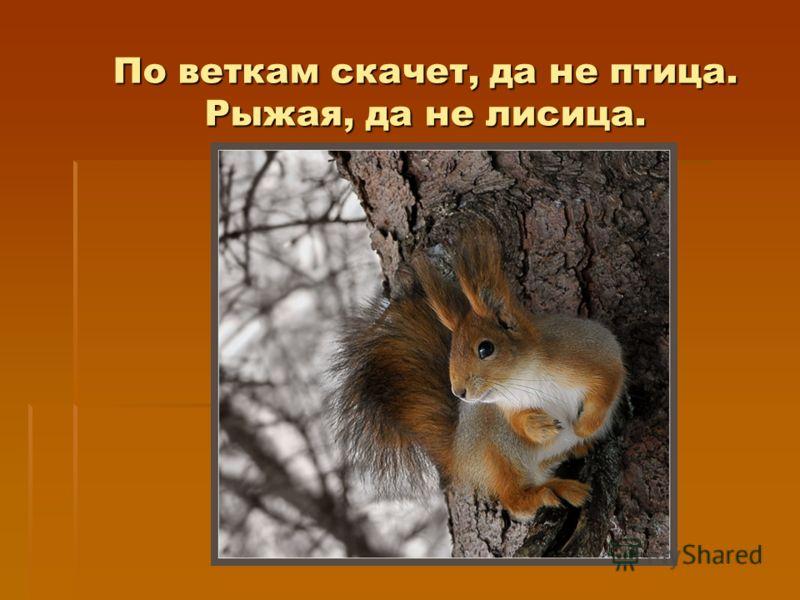 По веткам скачет, да не птица. Рыжая, да не лисица.