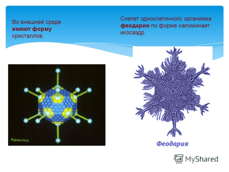Во внешней среде имеют форму кристаллов. Скелет одноклеточного организма феодарии по форме напоминает икосаэдр.