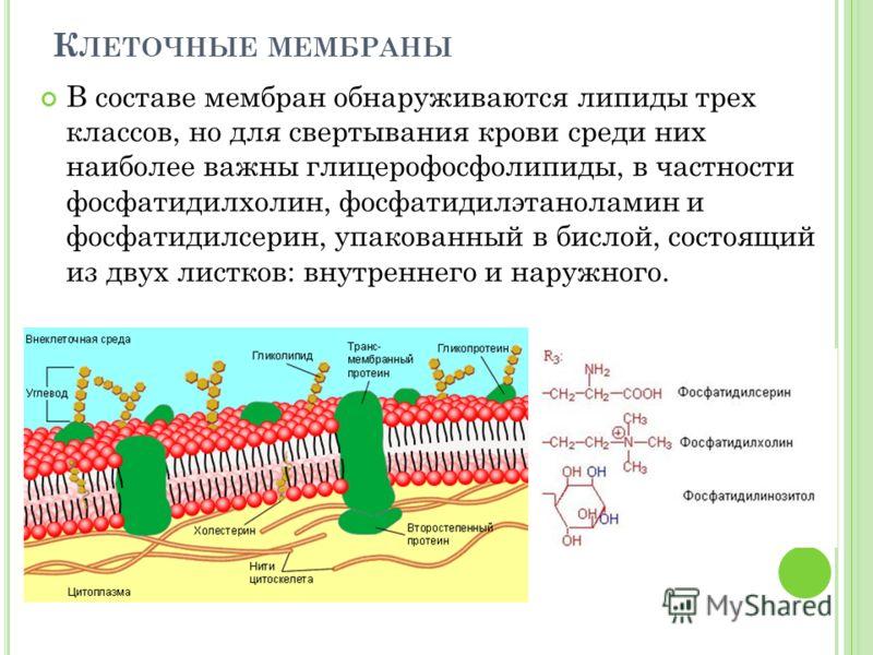 К ЛЕТОЧНЫЕ МЕМБРАНЫ В составе мембран обнаруживаются липиды трех классов, но для свертывания крови среди них наиболее важны глицерофосфолипиды, в частности фосфатидилхолин, фосфатидилэтаноламин и фосфатидилсерин, упакованный в бислой, состоящий из дв