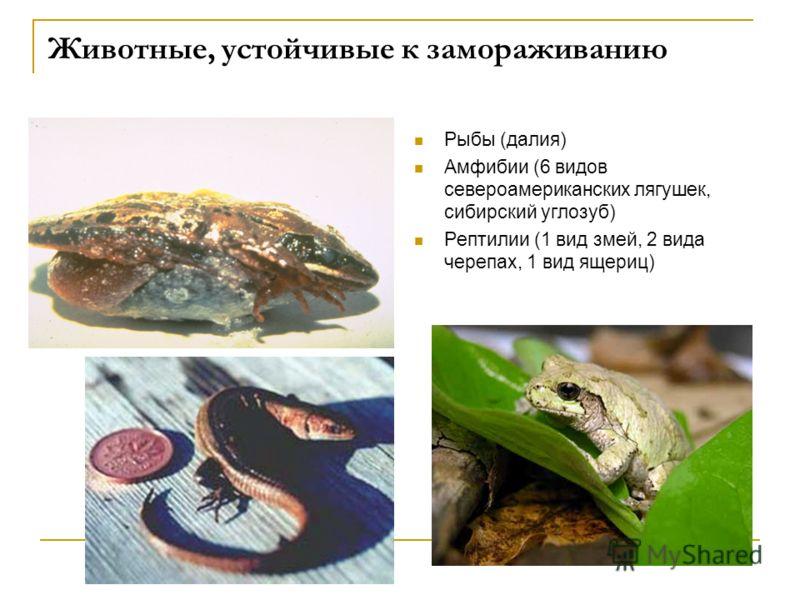 Животные, устойчивые к замораживанию Рыбы (далия) Амфибии (6 видов североамериканских лягушек, сибирский углозуб) Рептилии (1 вид змей, 2 вида черепах, 1 вид ящериц)