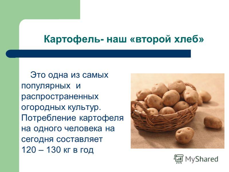 Картофель- наш «второй хлеб» Это одна из самых популярных и распространенных огородных культур. Потребление картофеля на одного человека на сегодня составляет 120 – 130 кг в год