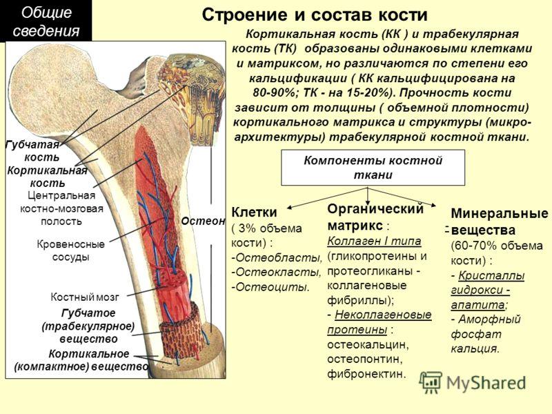 Общие сведения Строение и состав кости Губчатая кость Центральная костно-мозговая полость Кровеносные сосуды Костный мозг Губчатое (трабекулярное) вещество Кортикальное (компактное) вещество Остеон Кортикальная кость Кортикальная кость (КК ) и трабек