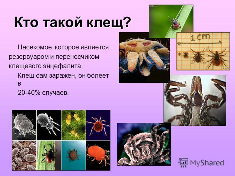 Кто такой клещ? Насекомое, которое является резервуаром и переносчиком клещевого энцефалита. Клещ сам заражен, он болеет в 20-40% случаев.