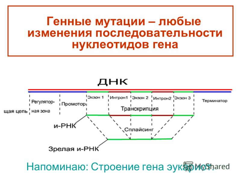 Напоминаю: Строение гена эукариот. Генные мутации – любые изменения последовательности нуклеотидов гена