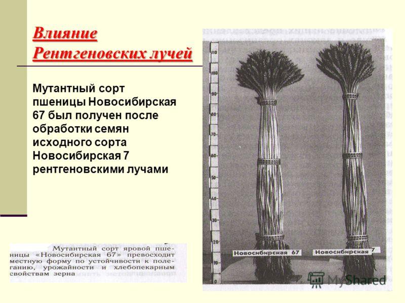 Влияние Рентгеновских лучей Мутантный сорт пшеницы Новосибирская 67 был получен после обработки семян исходного сорта Новосибирская 7 рентгеновскими лучами