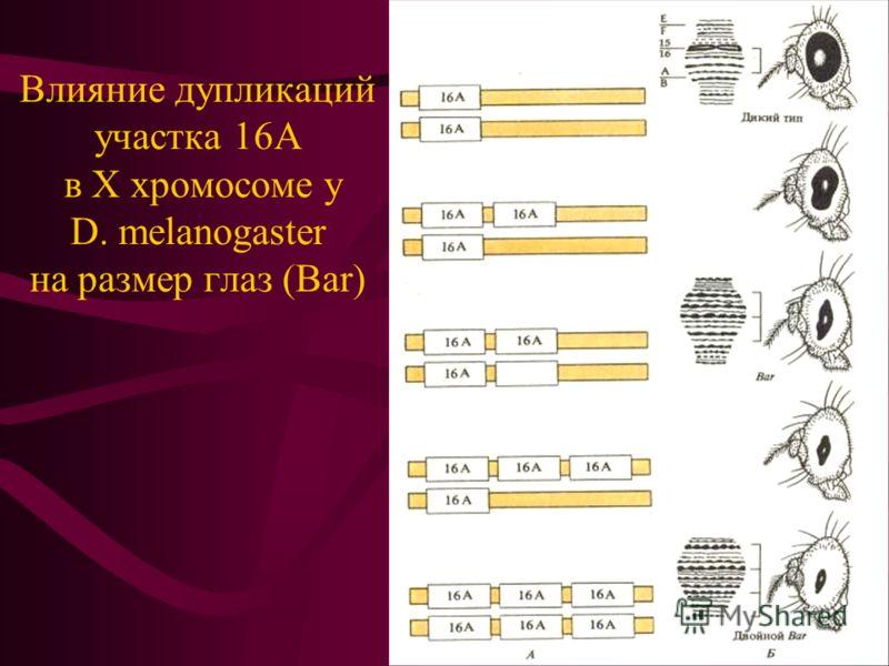 Влияние дупликаций участка 16А в Х хромосоме у D. melanogaster на размер глаз (Bar)