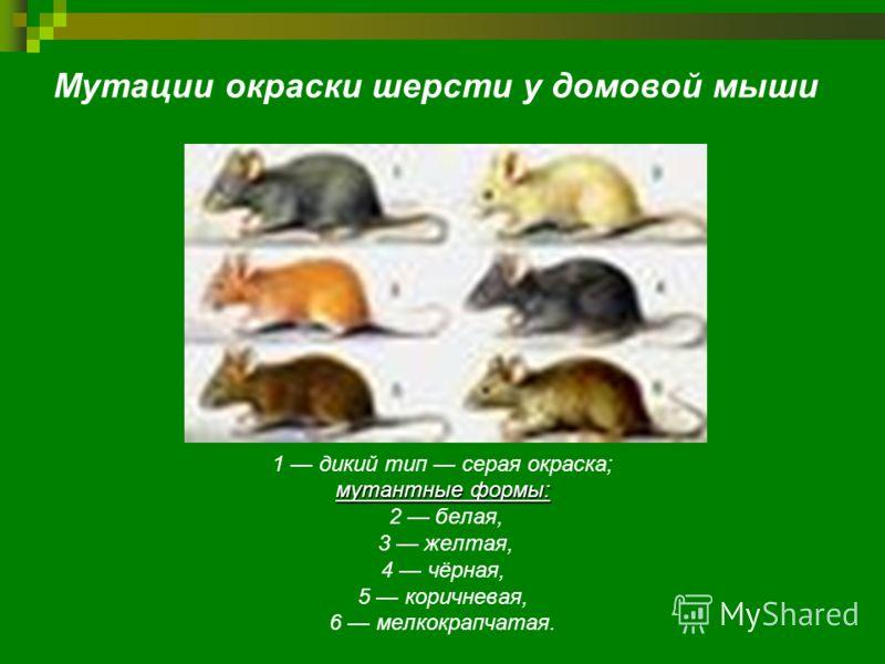 Мутации окраски шерсти у домовой мыши 1 дикий тип серая окраска; мутантные формы: 2 белая, 3 желтая, 4 чёрная, 5 коричневая, 6 мелкокрапчатая.