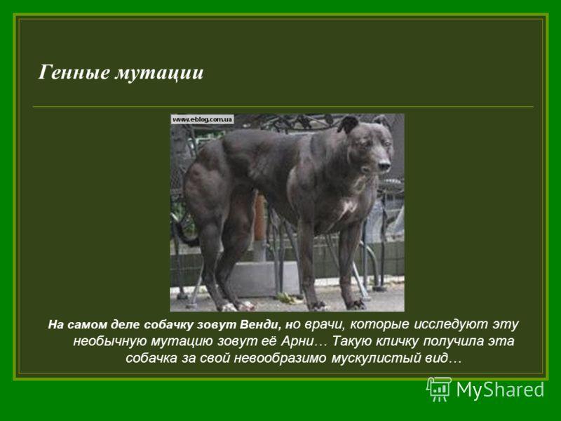 Генные мутации На самом деле собачку зовут Венди, н о врачи, которые исследуют эту необычную мутацию зовут её Арни… Такую кличку получила эта собачка за свой невообразимо мускулистый вид…
