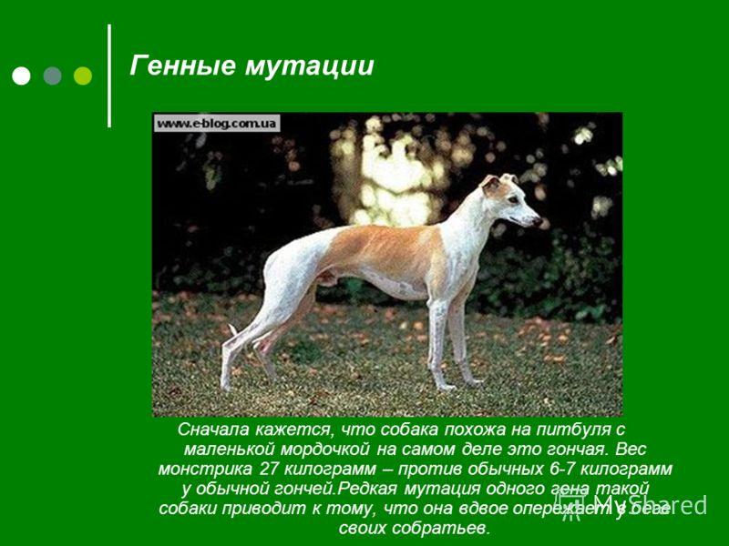 Генные мутации Сначала кажется, что собака похожа на питбуля с маленькой мордочкой на самом деле это гончая. Вес монстрика 27 килограмм – против обычных 6-7 килограмм у обычной гончей.Редкая мутация одного гена такой собаки приводит к тому, что она в