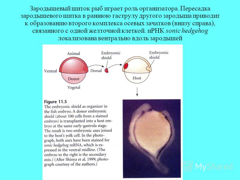 Зародышевый щиток рыб играет роль организатора. Пересадка зародышевого щитка в раннюю гаструлу другого зародыша приводит к образованию второго комплекса осевых зачатков (внизу справа), связанного с одной желточной клеткой. иРНК sonic hedgehog локализ