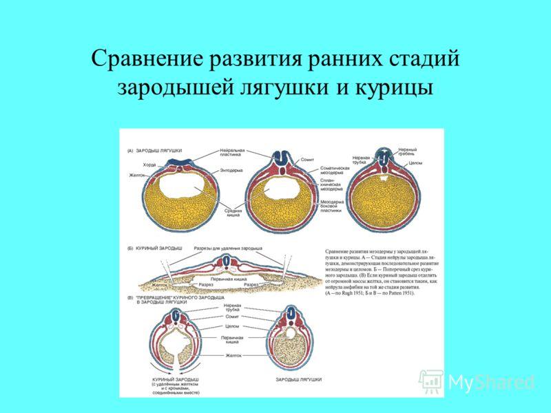 Сравнение развития ранних стадий зародышей лягушки и курицы