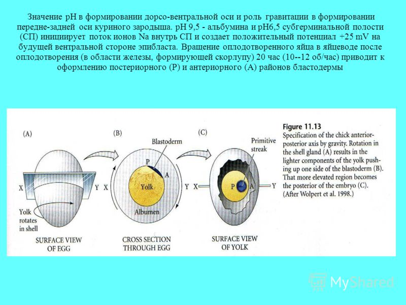 Значение pH в формировании дорсо-вентральной оси и роль гравитации в формировании передне-задней оси куриного зародыша. pH 9,5 - альбумина и pH6,5 субгерминальной полости (СП) инициирует поток ионов Na внутрь СП и создает положительный потенциал +25