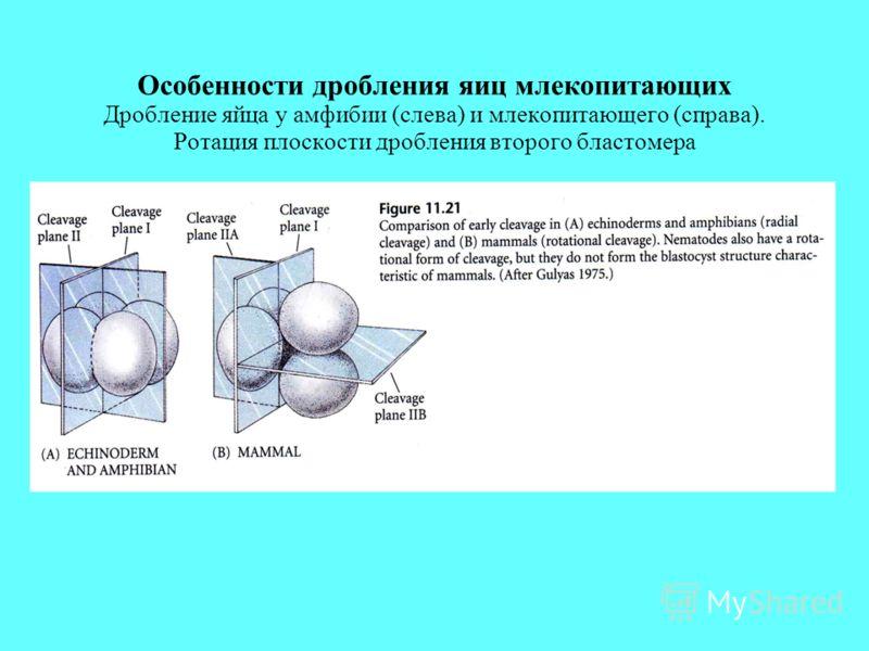 Особенности дробления яиц млекопитающих Дробление яйца у амфибии (слева) и млекопитающего (справа). Ротация плоскости дробления второго бластомера