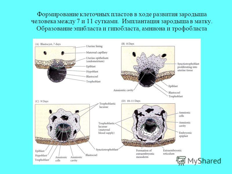 Формирование клеточных пластов в ходе развития зародыша человека между 7 и 11 сутками. Имплантация зародыша в матку. Образование эпибласта и гипобласта, амниона и трофобласта