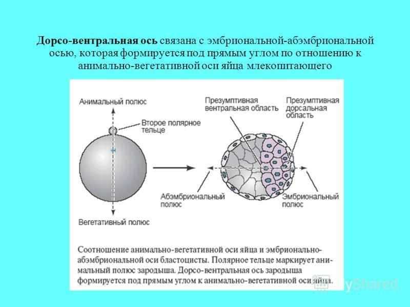 Дорсо-вентральная ось связана с эмбриональной-абэмбриональной осью, которая формируется под прямым углом по отношению к анимально-вегетативной оси яйца млекопитающего